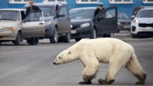 urso polar resgatado